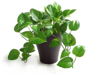 1-Costa-Farms-Golden-Pothos-Houseplant